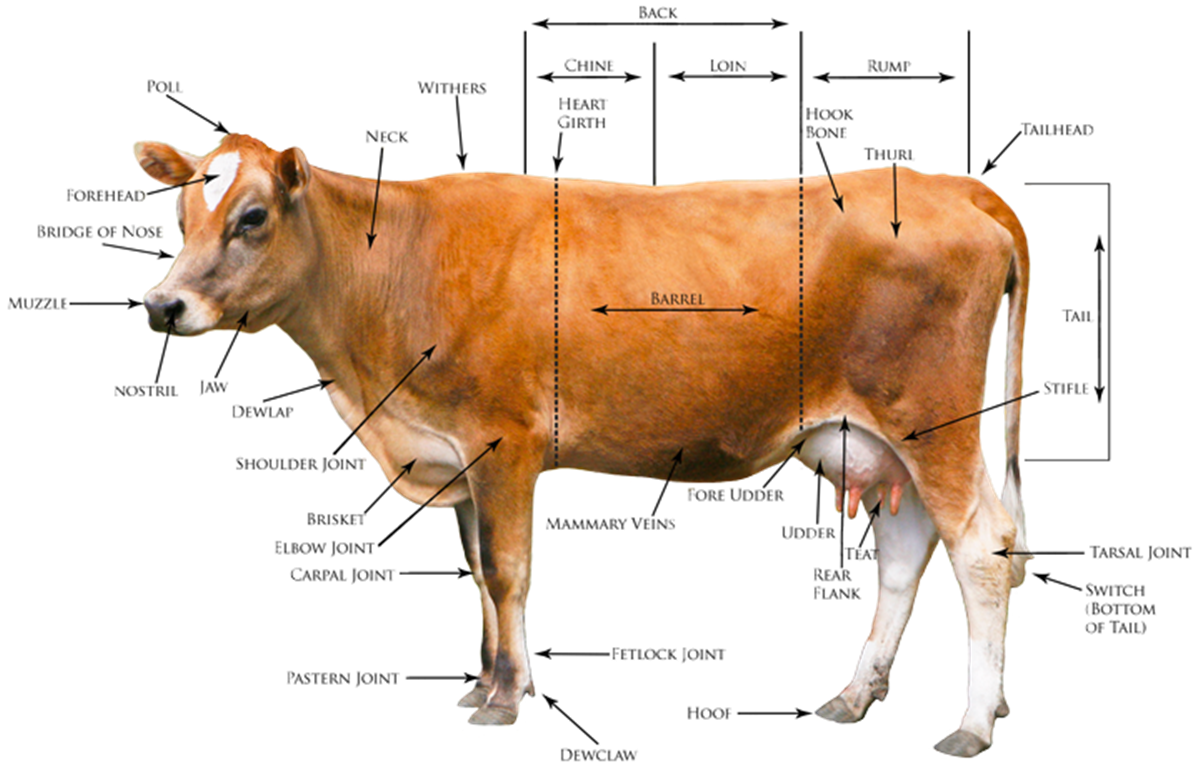 Goat clipart short tail. Animals in english learn