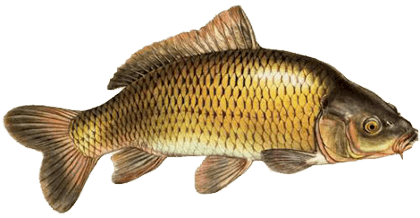 Goldfish clipart 5 fish. Png free images toppng