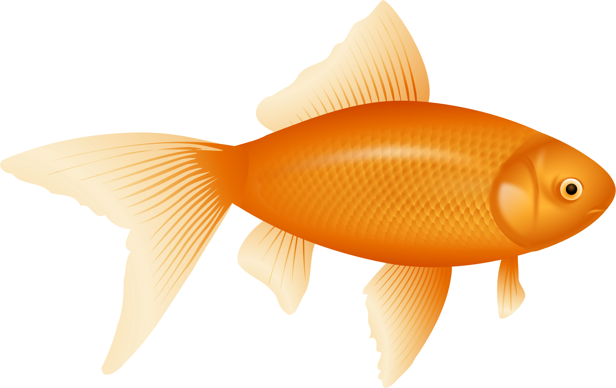 The pictures for golden. Goldfish clipart attention span