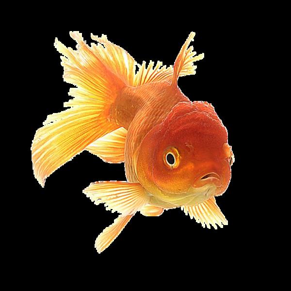 Goldfish clipart attention span. Pisces fish pinterest
