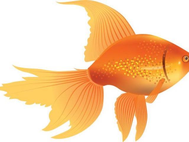 Goldfish clipart basic fish. Free download clip art