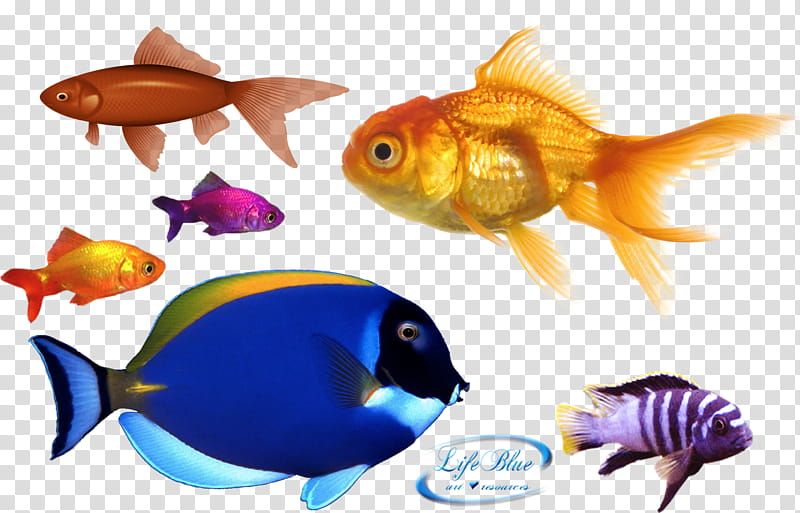 Assorted color fish transparent. Goldfish clipart colorful