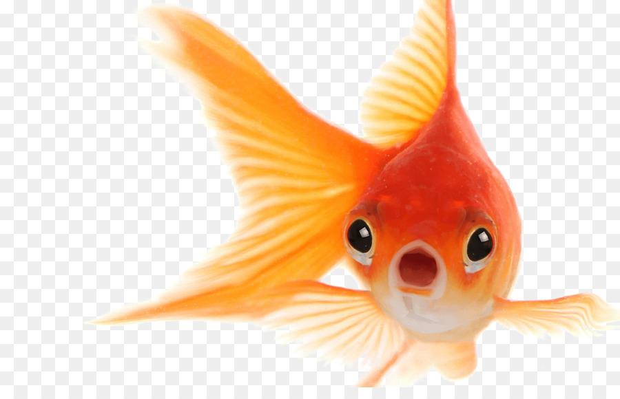 Goldfish clipart face. Fish cartoon orange transparent