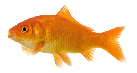 Free gold fish download. Goldfish clipart fancy goldfish