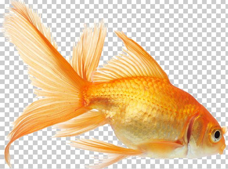 Goldfish clipart fish feeder. Koi aquarium png animals