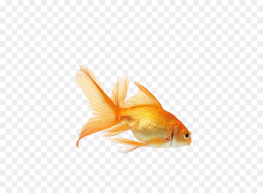 Goldfish clipart fish feeder. Pond cartoon