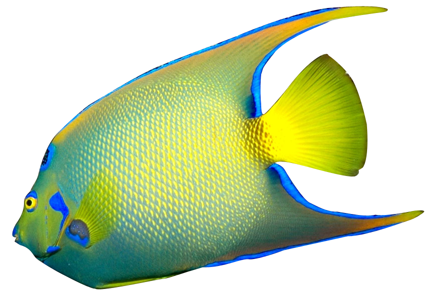 Goldfish clipart fish head. Angelfish masked downloads