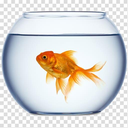 Goldfish clipart fishtank. Aquarium fish transparent background