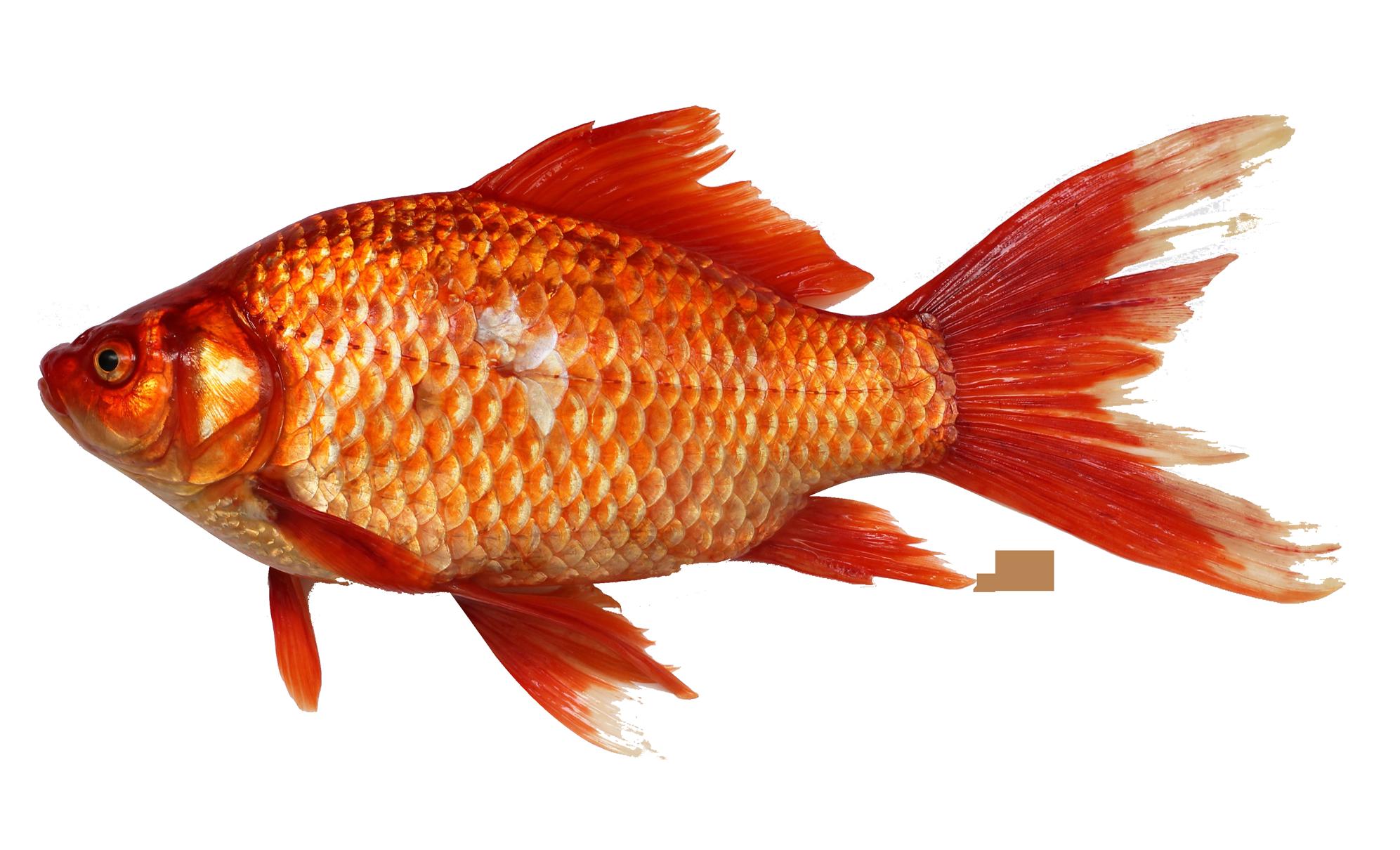 Goldfish clipart golden fish. Png transparent images pluspng