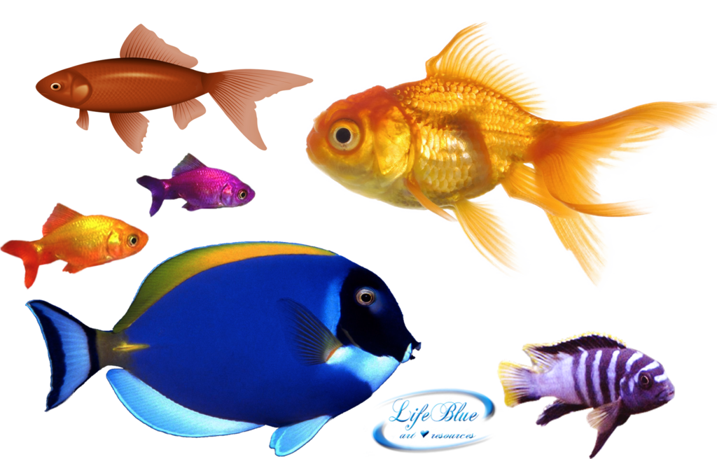 Goldfish clipart heart. Png by lifeblue on