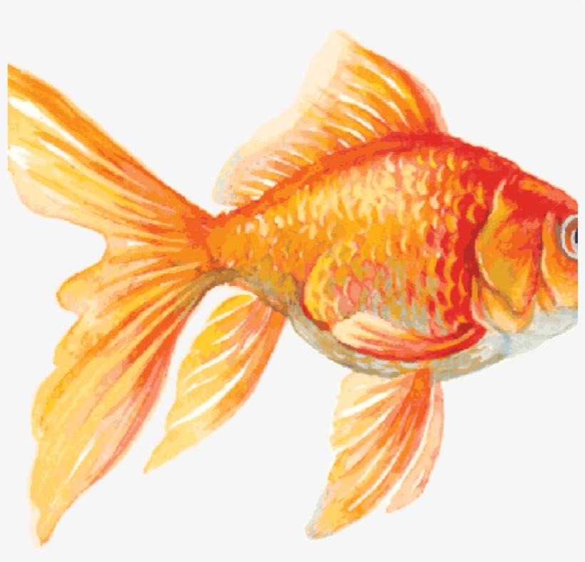 Clip art for free. Goldfish clipart ish