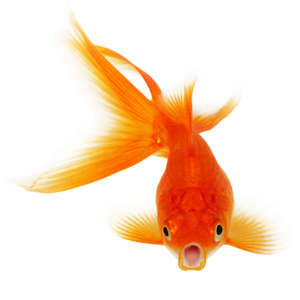 Download real png for. Goldfish clipart little fish