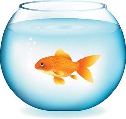 gold fish clip. Goldfish clipart part