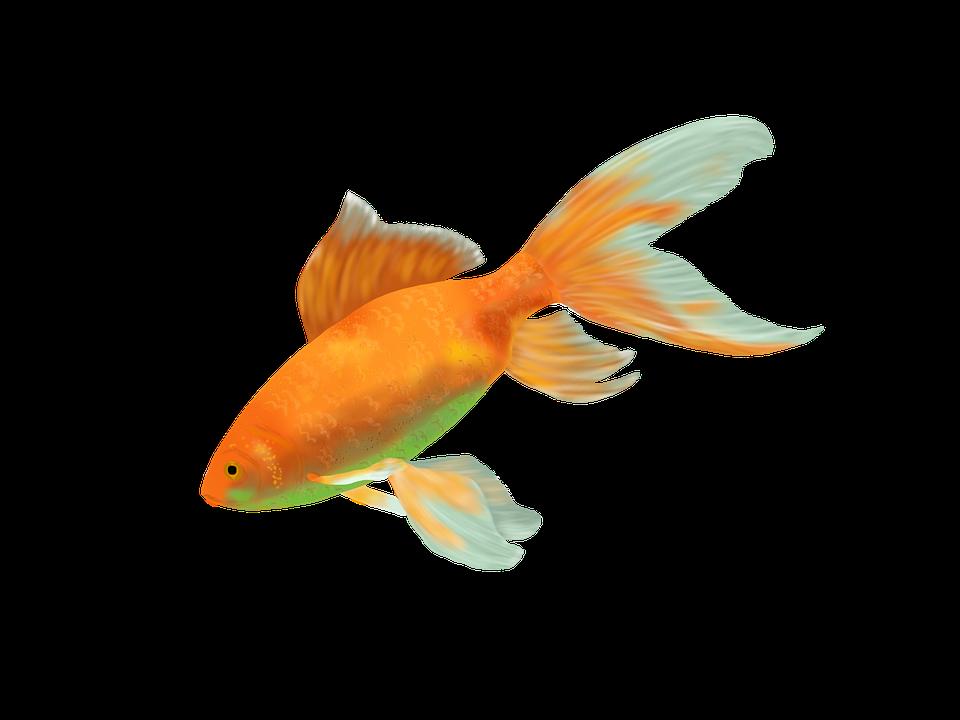 Drawn gold transparent background. Goldfish clipart sea fish