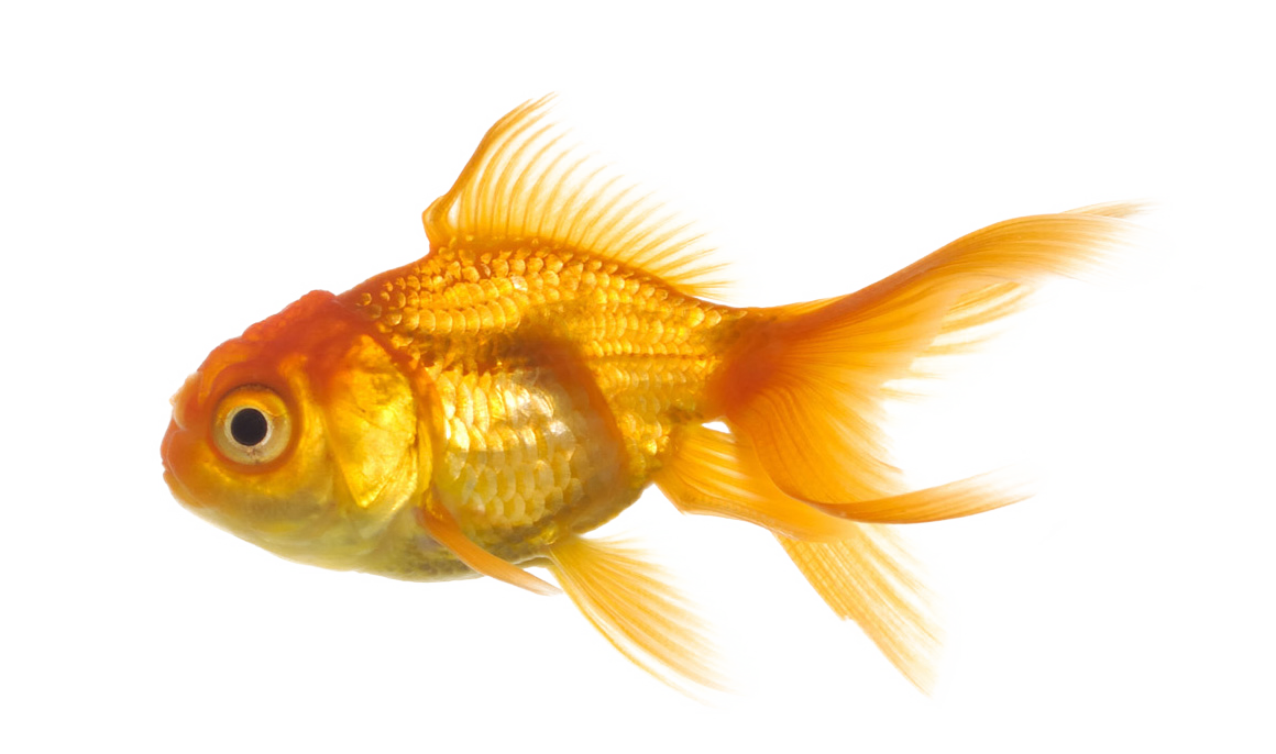 Gold fish png image. Mango clipart clear background