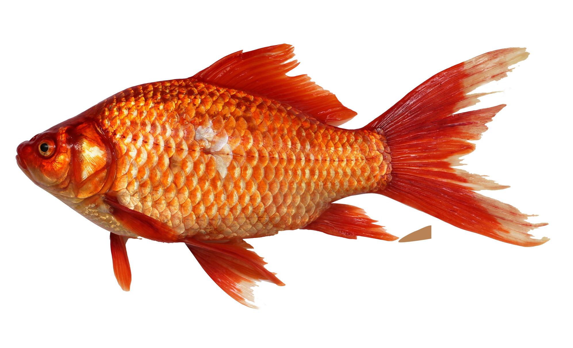Png image purepng free. Goldfish clipart under sea