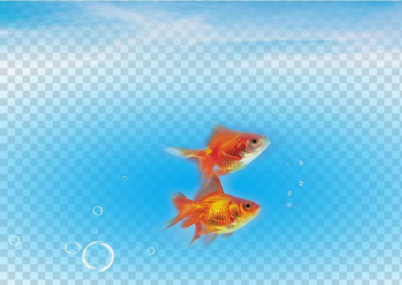 Goldfish clipart under sea. Carassius auratus fish water