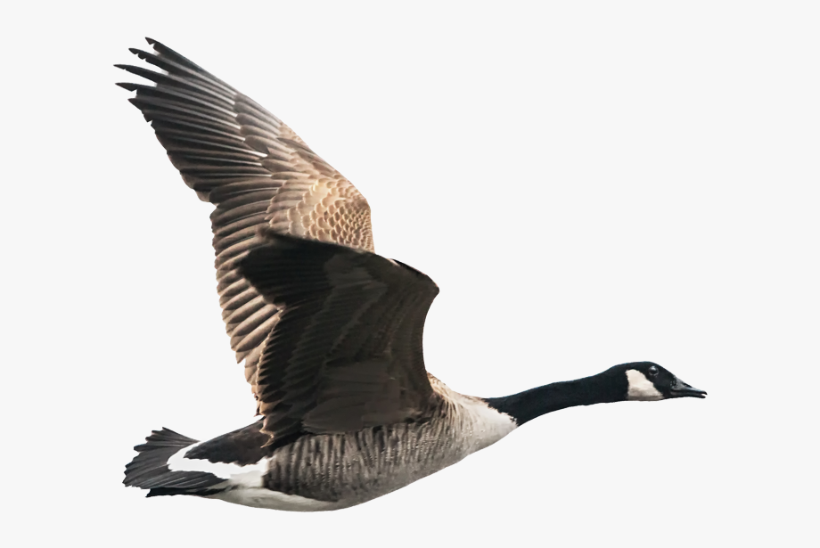 Transparent canadian flying png. Goose clipart canada goose