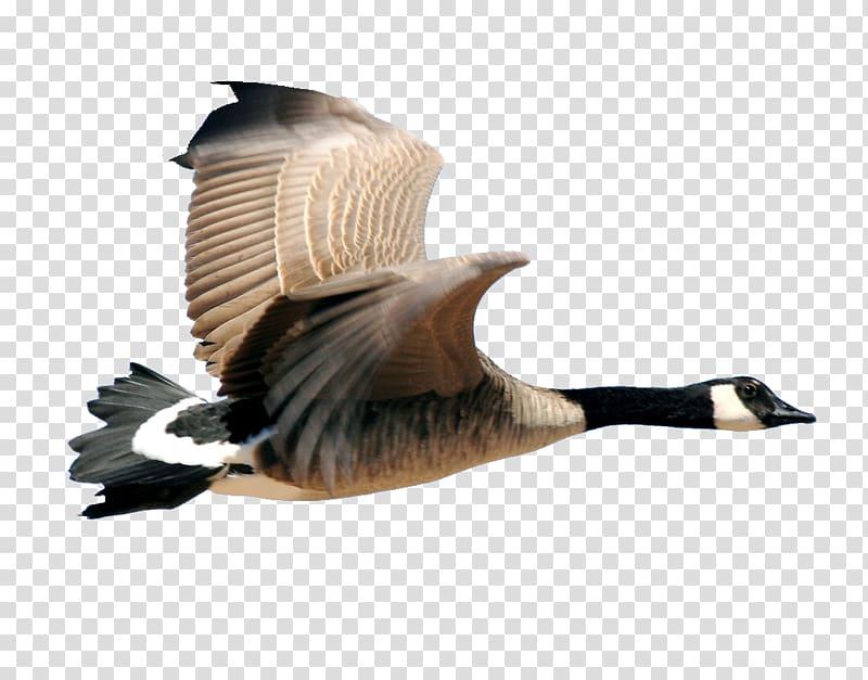 Canada bird duck transparent. Goose clipart icon canadian