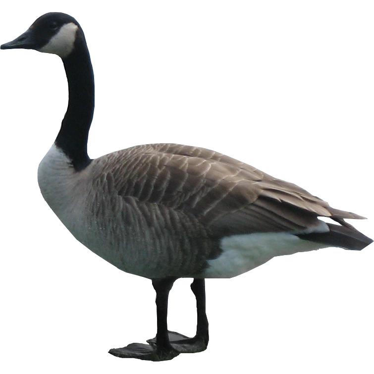 Transparent png pictures free. Goose clipart icon canadian