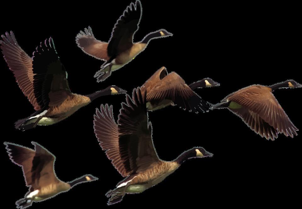 Free photo animals birds. Goose clipart sad