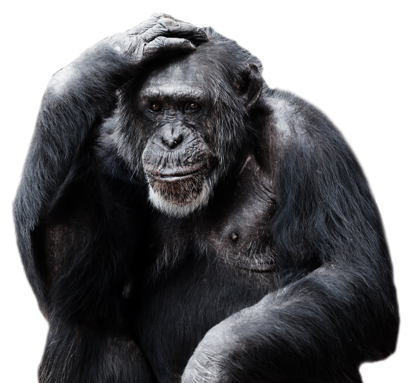 Gorilla clipart zoo gorilla. Chimpanzee png image purepng