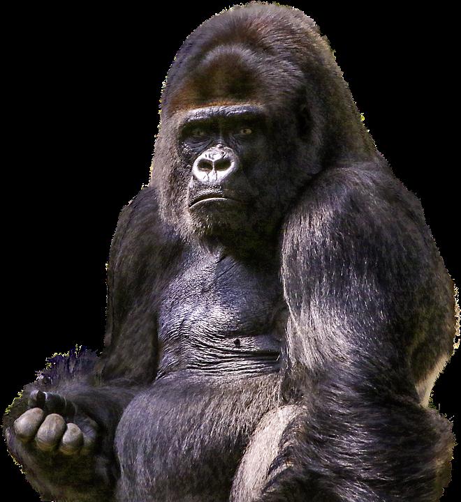 Gorilla clipart zoo gorilla. Free image on pixabay