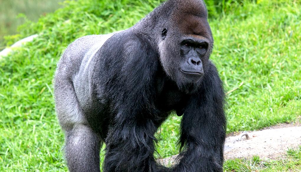 Gorilla clipart zoo gorilla. Western lowland san diego