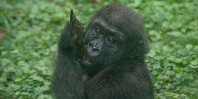 Baby grows thrives at. Gorilla clipart zoo gorilla