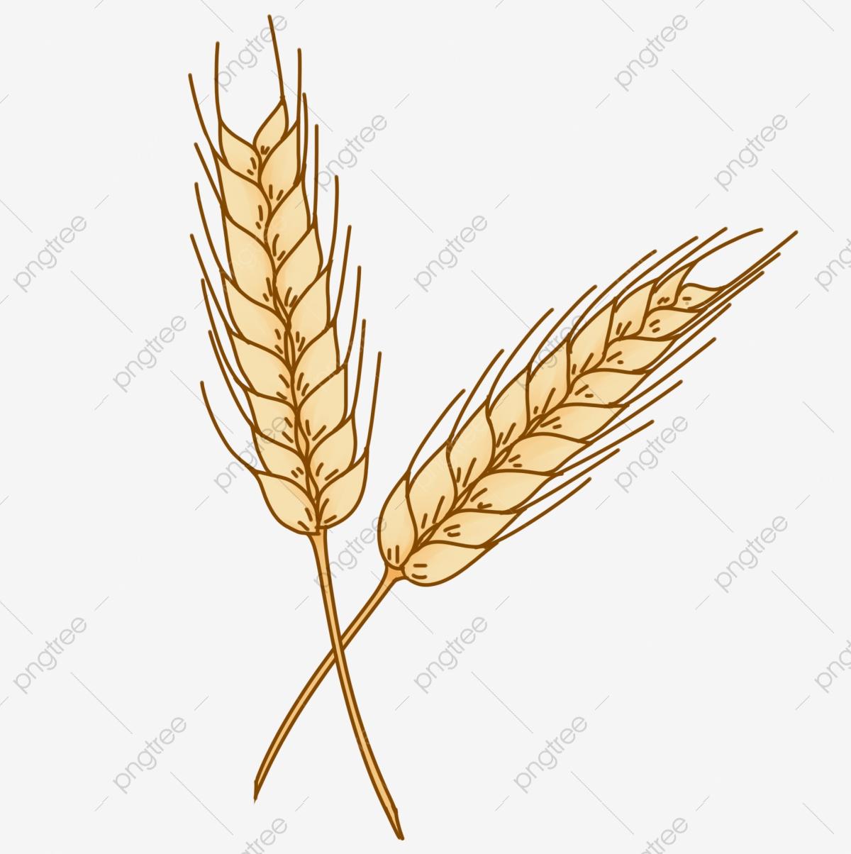 Wheat clipart barley. Hand painted ears health