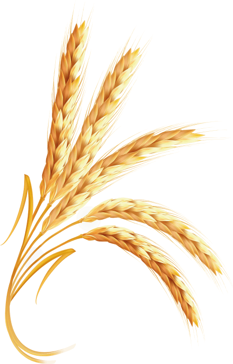 Grain clipart gluten. Wheat png free images