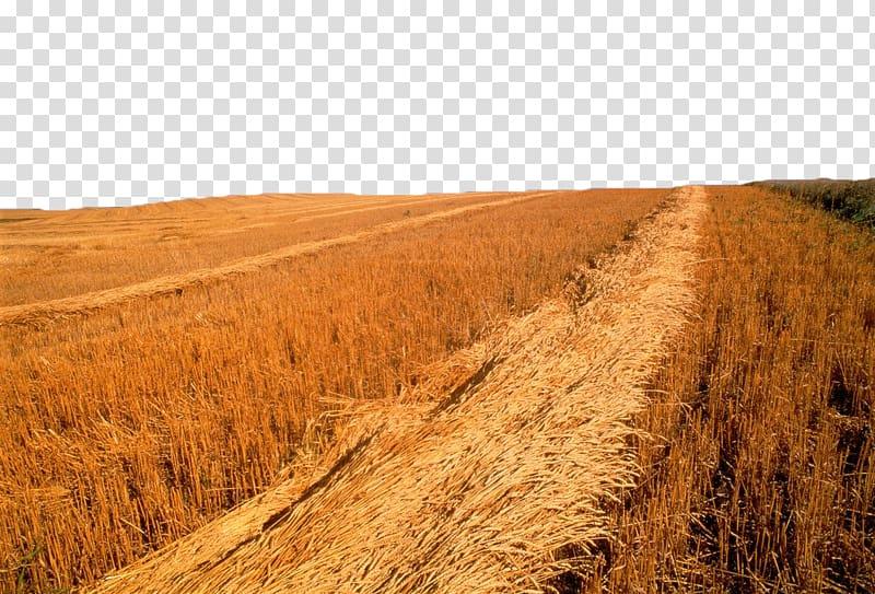 Saskatoon wheat golden yellow. Grain clipart harvest field