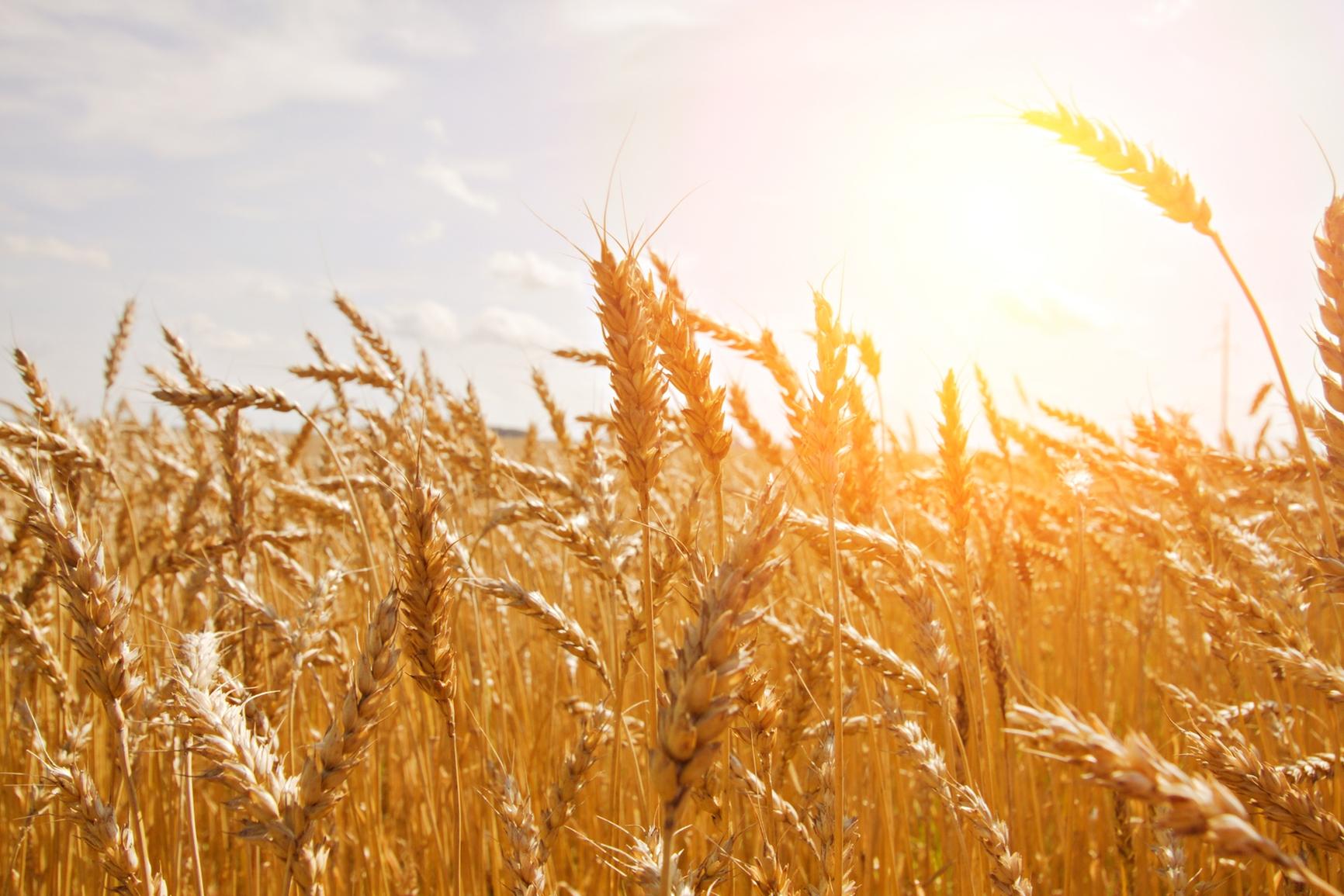 Grain clipart harvest field. Grains wheat the church