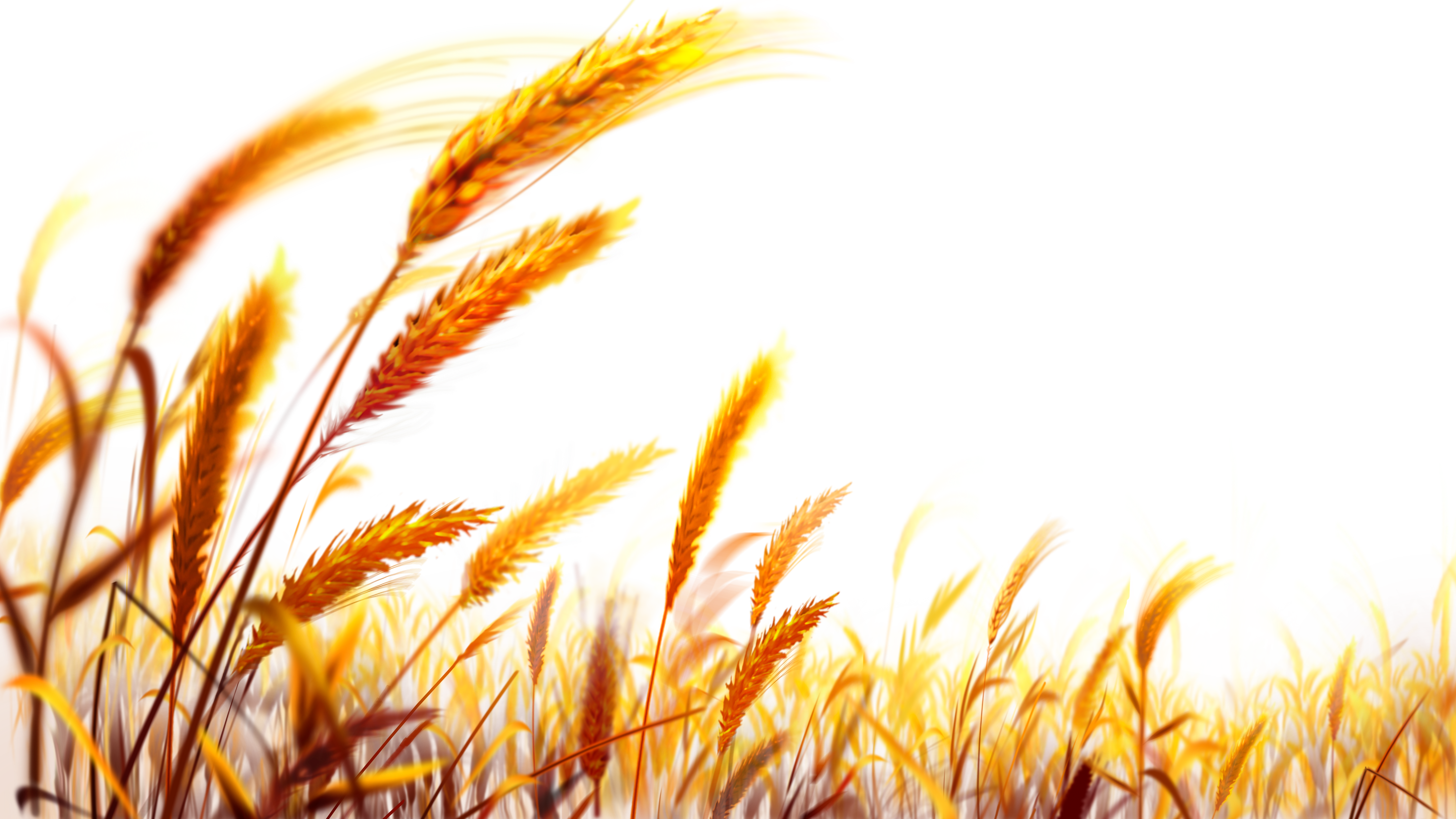 Pin by charudeal on. Grain clipart harvest field