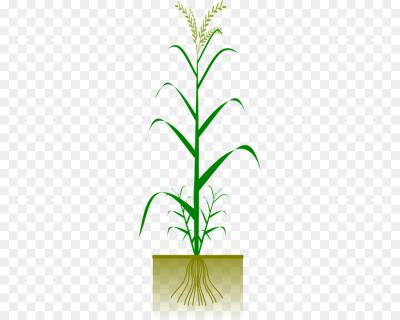 Grain clipart jowar. Download free png grains