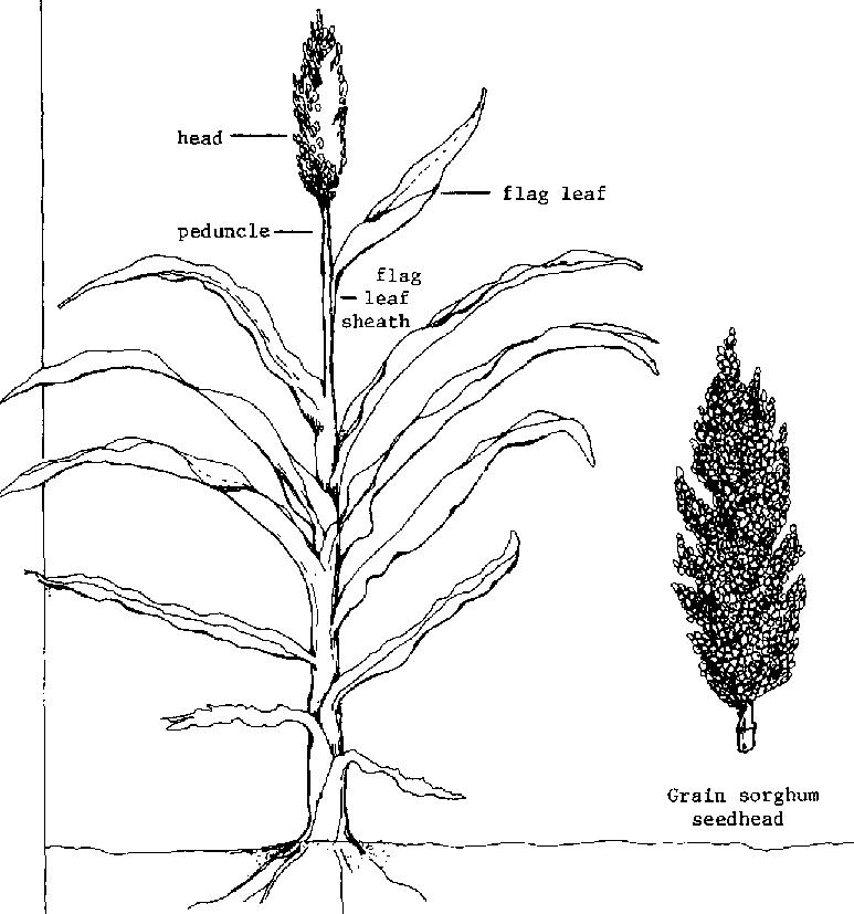Plant png transparent images. Grain clipart jowar