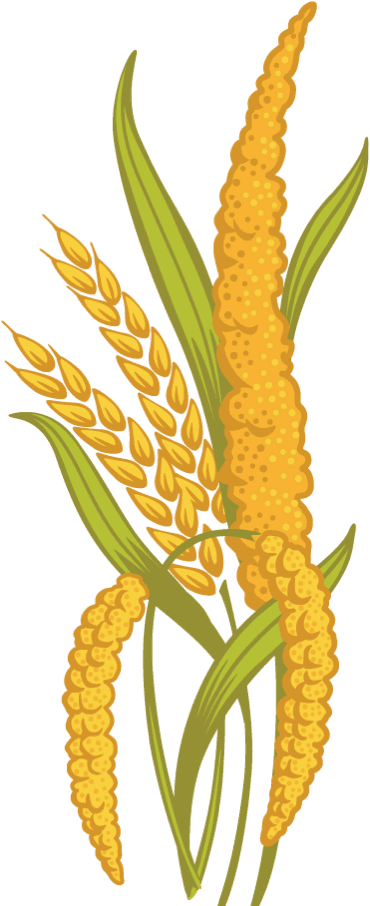 Pencil and in color. Grain clipart millet