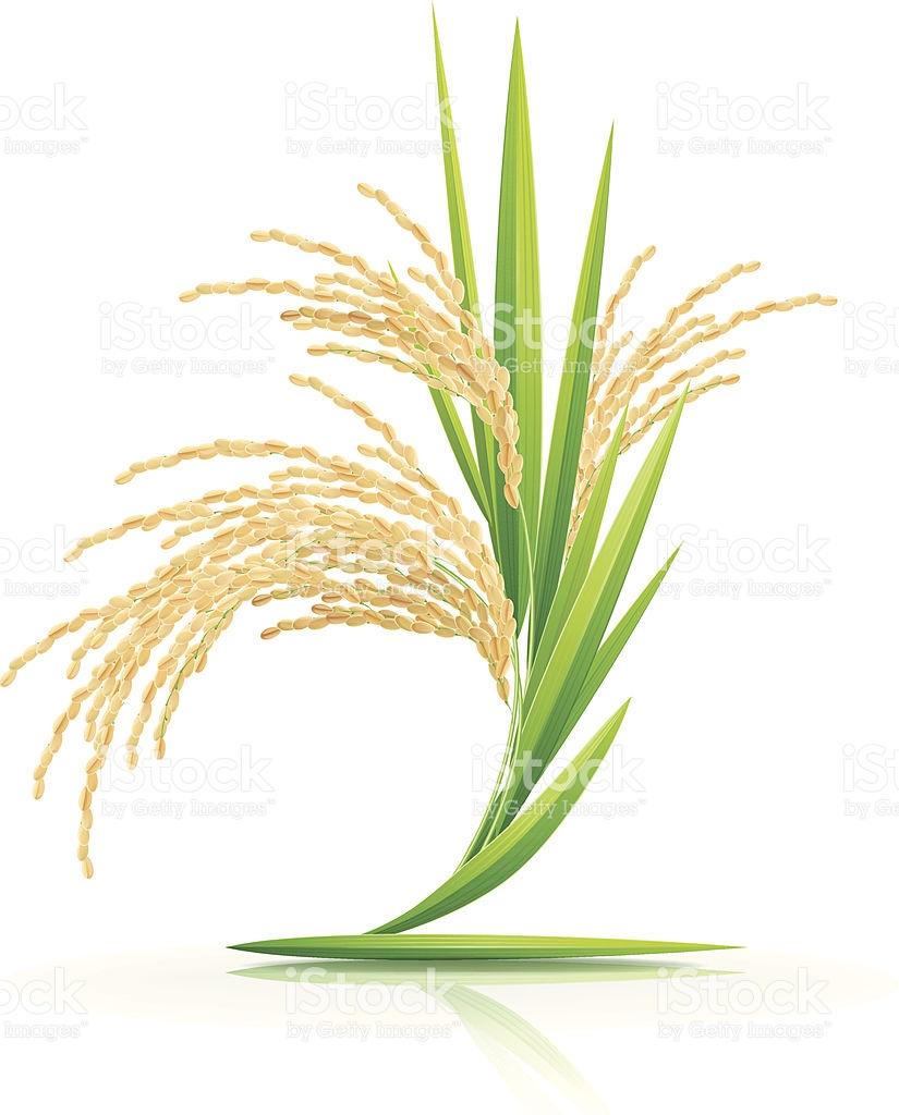 Station . Grain clipart rice