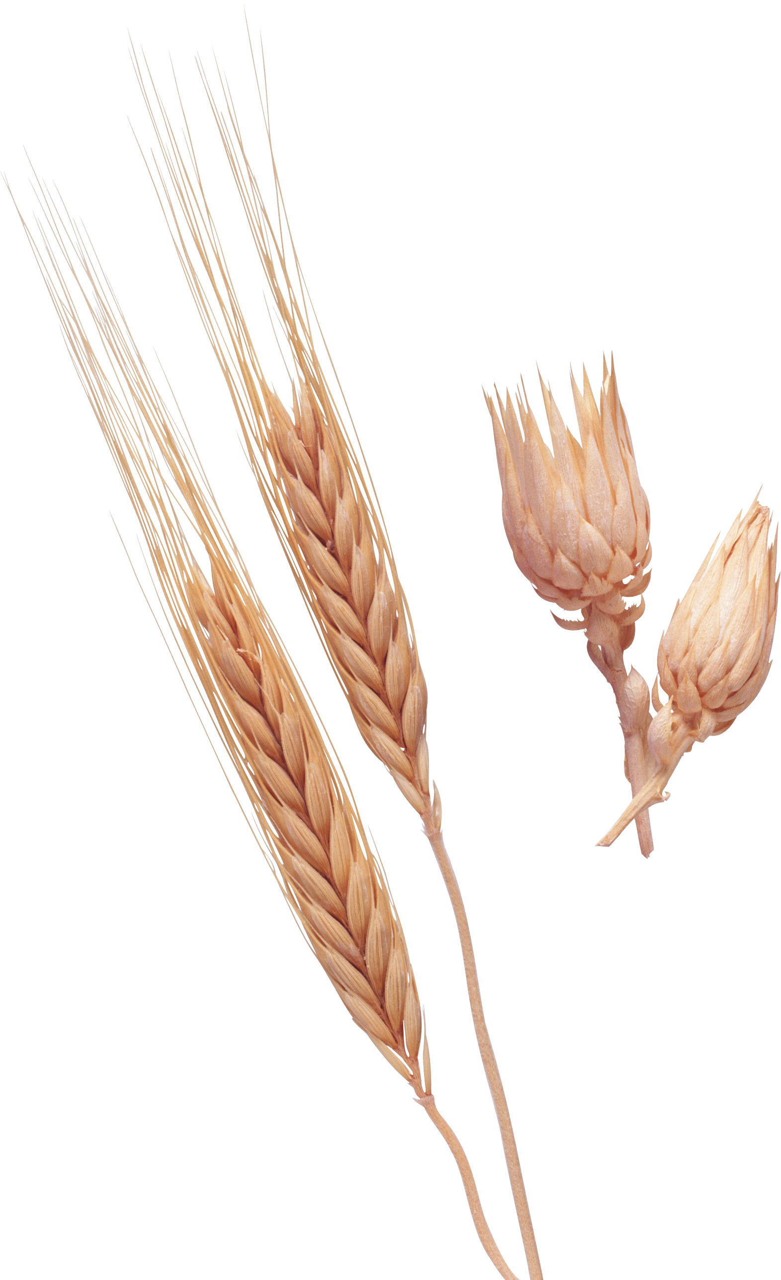 Png image purepng free. Wheat clipart rye