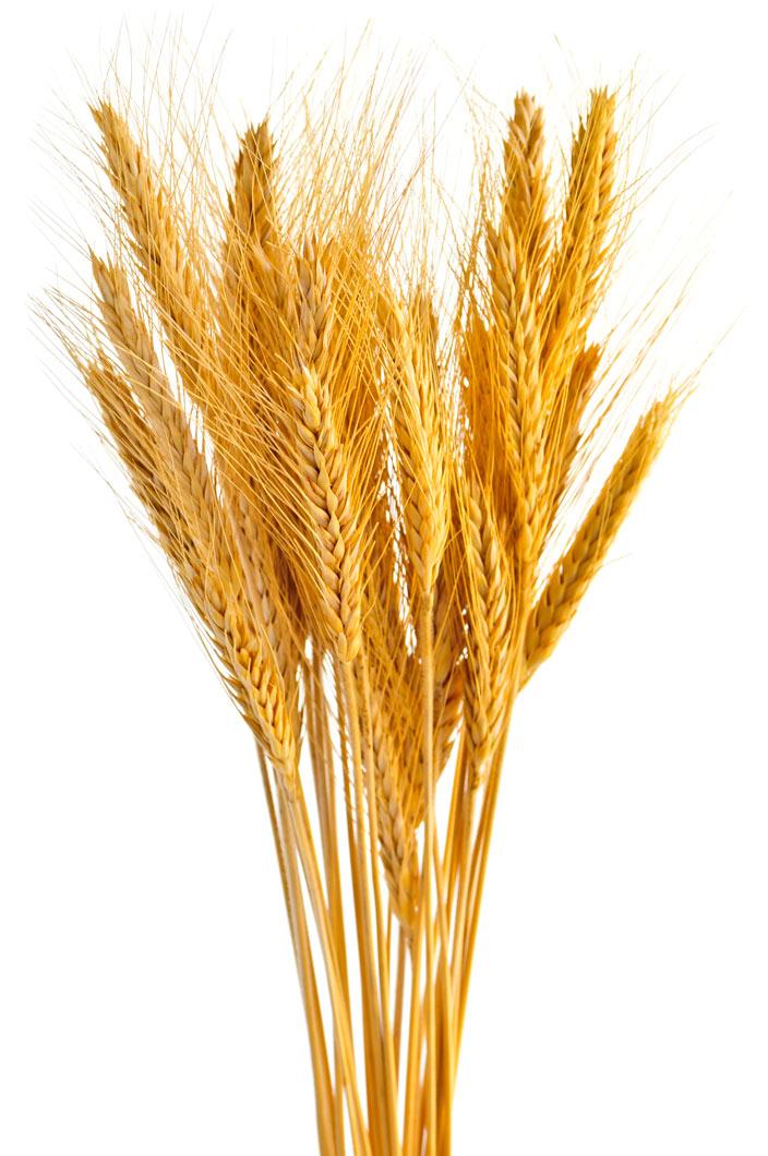 Grain clipart sheaf wheat. Free grains download clip