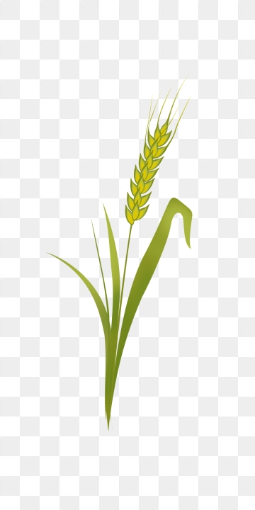 Wheat clipart rice grain. Png images vector and
