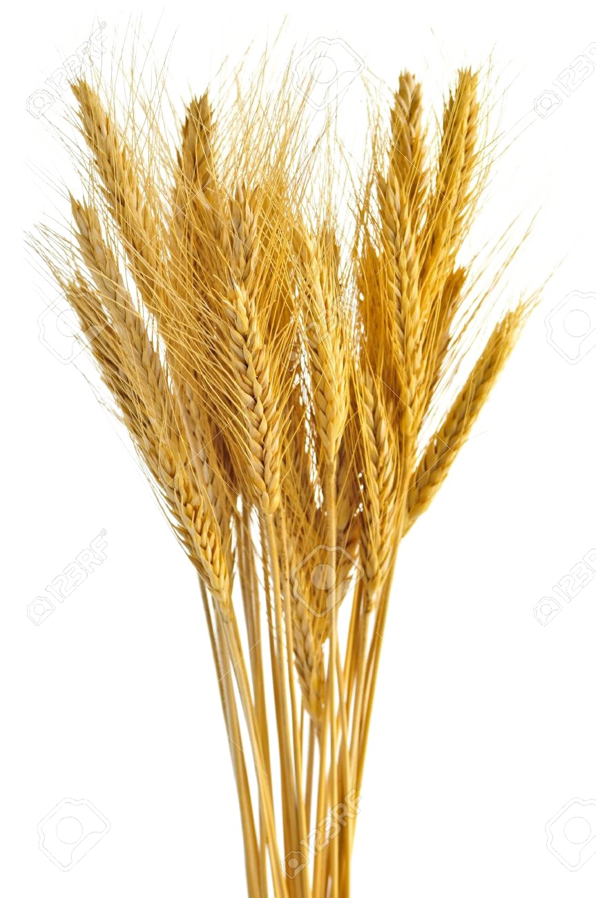 Png images all . Grain clipart transparent background wheat