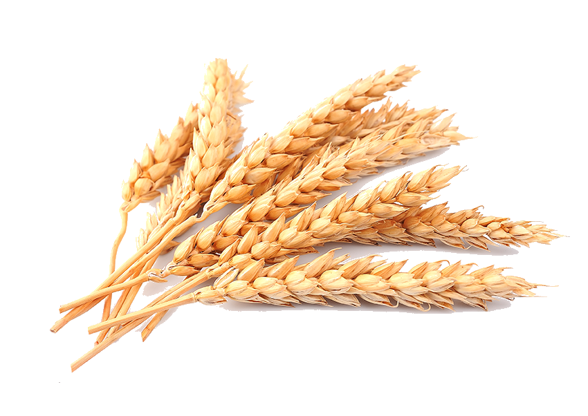 Grains clipart transparent background wheat. Png image purepng free
