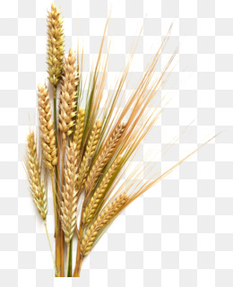 Grain clipart transparent background wheat. Food png and free