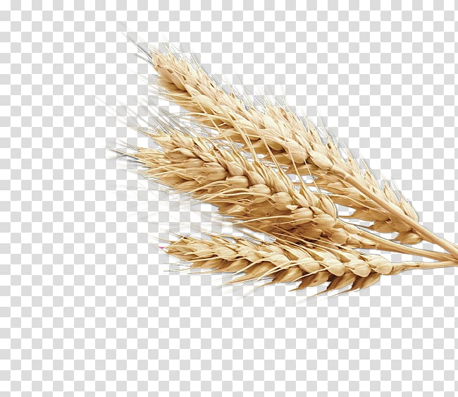 Grain clipart transparent background wheat. Emmer cereal germ whole