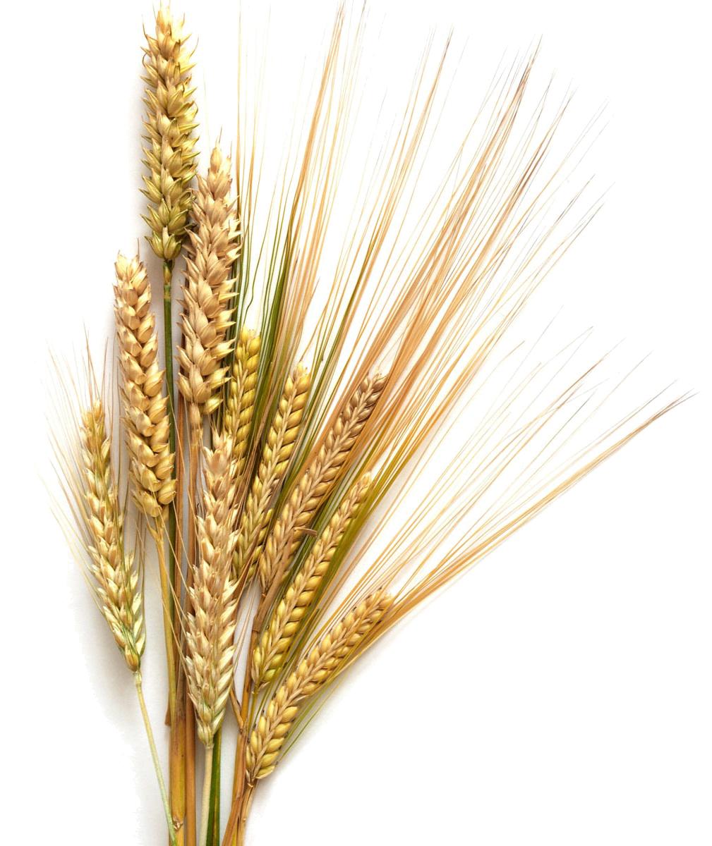 Grains clipart transparent background wheat. Barley distillery design ideas