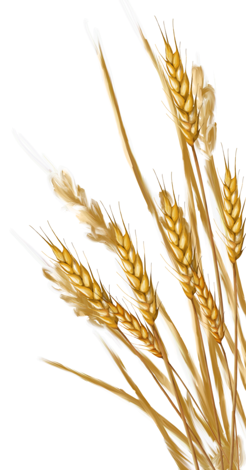 Png images all . Wheat clipart transparent background