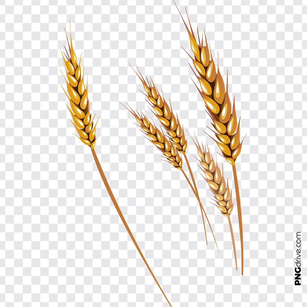 Grains vector png image. Wheat clipart gold wheat