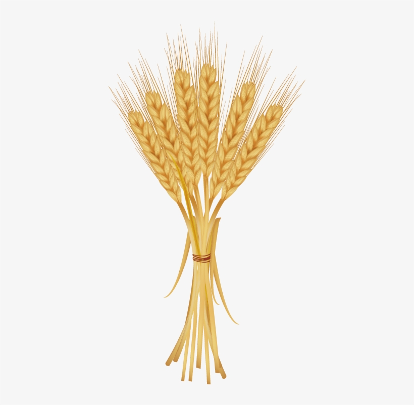 Golden of free . Grains clipart wheat bunch