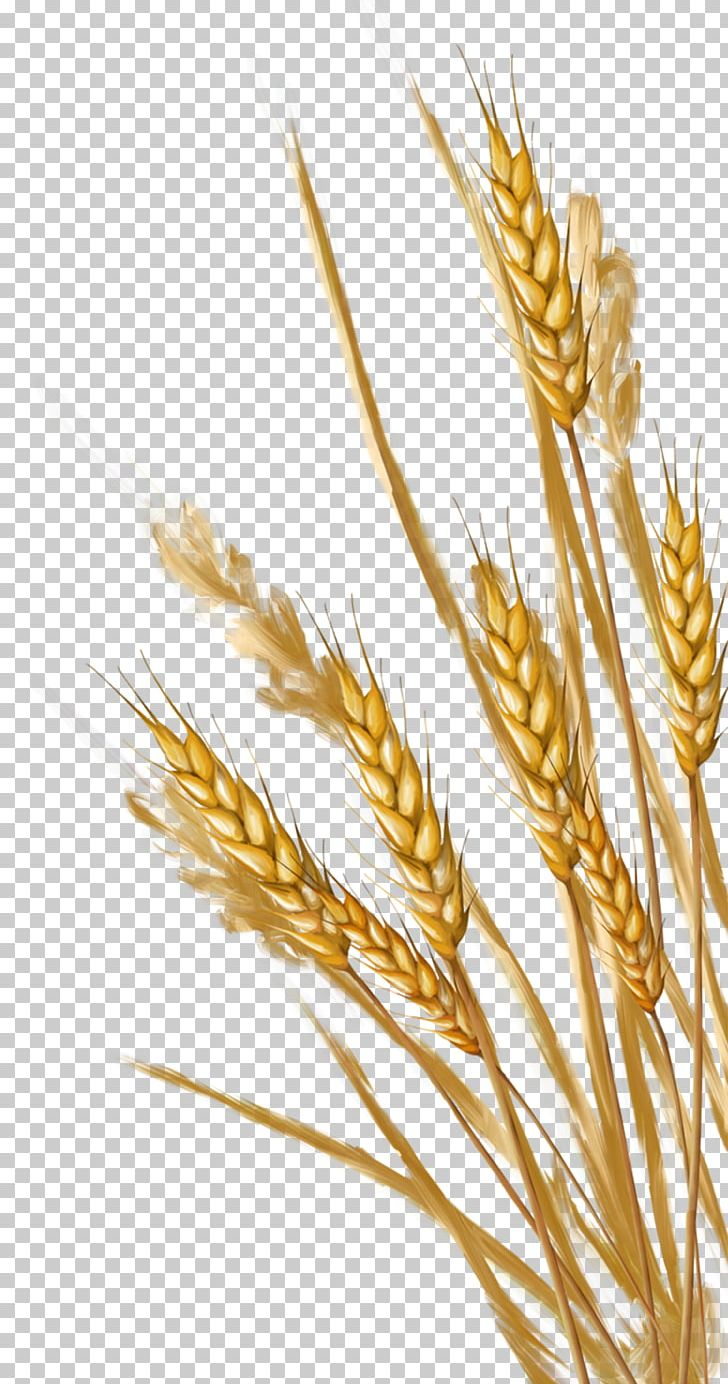 Wheat clipart ear wheat. Png albom cereal germ